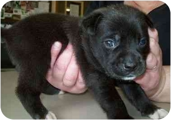 Boxer Mix Puppy for adoption in North Judson, Indiana - Licks