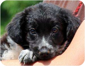 Border Collie Mix Puppy for adoption in Worcester, Massachusetts - Markie