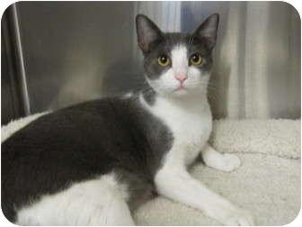 Domestic Shorthair Cat for adoption in Modesto, California - Oliver