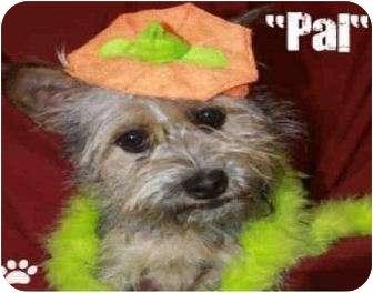Schnauzer (Miniature)/Border Terrier Mix Dog for adoption in San Clemente, California - PAL