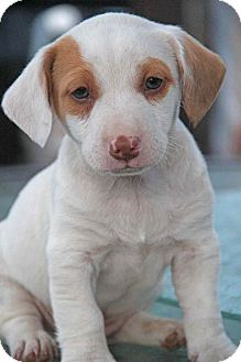 Jack Russell Terrier/Terrier (Unknown Type, Small) Mix Puppy for adoption in Yuba City, California - Winchester
