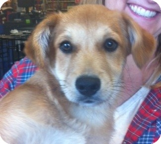 Golden Retriever/Labrador Retriever Mix Puppy for adoption in Nuevo, California - Mickey