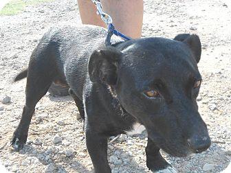 Corgi/Labrador Retriever Mix Dog for adoption in Shawnee, Oklahoma - Dylan