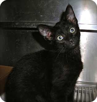 Domestic Shorthair Kitten for adoption in El Cajon, California - Sadie
