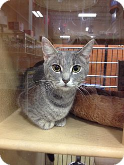 Domestic Shorthair Cat for adoption in Covington, Kentucky - Holly