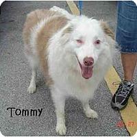 Adopt A Pet :: Tommy - Orlando, FL