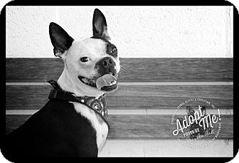 Boston Terrier Dog for adoption in Albany, New York - Mario