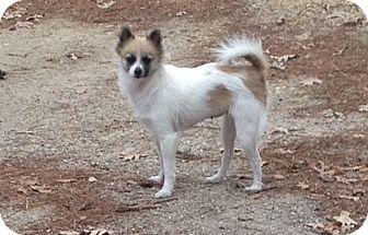 Pomeranian Dog for adoption in Greensboro, Maryland - Winnie