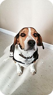 Beagle Dog for adoption in London, Ontario - Duke-Beagle