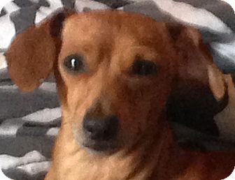 Dachshund Mix Dog for adoption in Spring Valley, New York - Joey