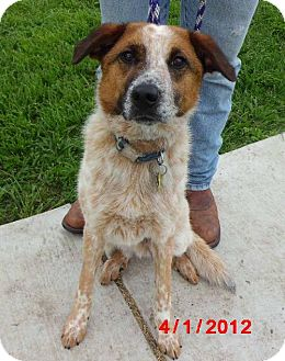 Australian Cattle Dog Mix Dog for adoption in Lavon, Texas - Barkley