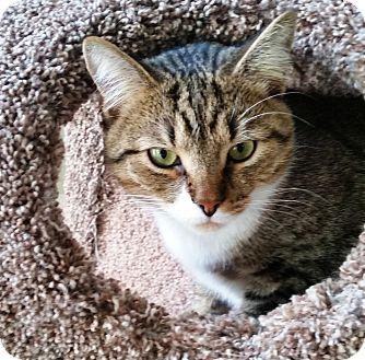 Domestic Shorthair Cat for adoption in Charlotte, North Carolina - Eli