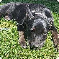 Adopt A Pet :: Remmie - Las Cruces, NM
