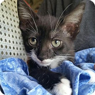 Domestic Shorthair Kitten for adoption in Tampa, Florida - Grace