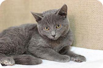 Domestic Shorthair Kitten for adoption in Midland, Michigan - Babaganoush