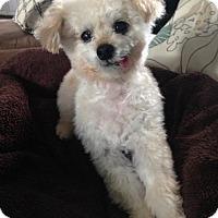 Adopt A Pet :: Tiny Tim - Alpharetta, GA