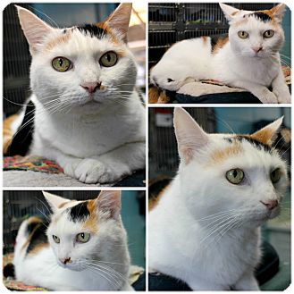 Calico Cat for adoption in Forked River, New Jersey - Jeanie