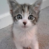Domestic Shorthair Kitten for adoption in Huntley, Illinois - Chica