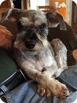 Schnauzer (Miniature) Mix Dog for adoption in Millersville, Maryland - Martha