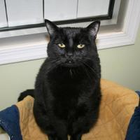 Adopt A Pet :: Satine - Norfolk, VA