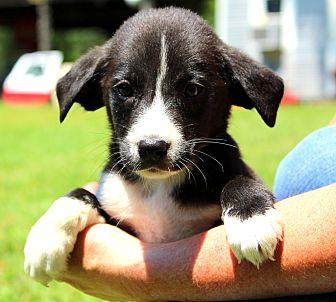 Labrador Retriever/Terrier (Unknown Type, Medium) Mix Puppy for adoption in Southbury, Connecticut - Dewey ~ meet me!