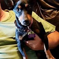 Adopt A Pet :: Ace - Hazelwood, MO