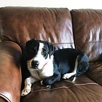 Adopt A Pet :: Samson - Westminster, CO