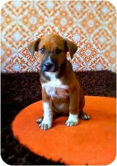 Manchester Terrier/Beagle Mix Puppy for adoption in Portland, Oregon - Pappy