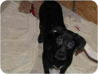 Labrador Retriever/Pointer Mix Puppy for adoption in Bowie, Maryland - Pepper