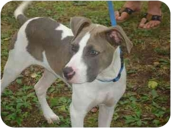 American Staffordshire Terrier/Hound (Unknown Type) Mix Puppy for adoption in Old Bridge, New Jersey - Jacob