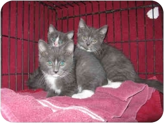 Russian Blue Kitten for adoption in South Windsor, Connecticut - 2 Males 1 Female Kittens