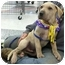 Photo 3 - Shar Pei/Mastiff Mix Puppy for adoption in Sacramento, California - Julius big boy