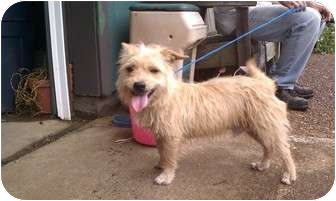 Terrier (Unknown Type, Small) Mix Dog for adoption in Danbury, Connecticut - Chedder