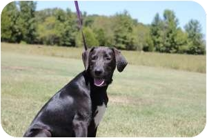 Labrador Retriever Mix Dog for adoption in Plainfield, Connecticut - Carson (PLA)