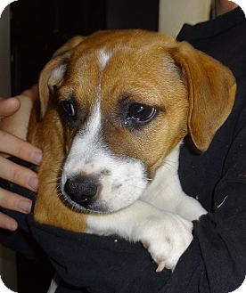 Beagle/Corgi Mix Puppy for adoption in Nuevo, California - Lucy