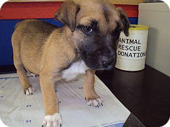 German Shepherd Dog/Labrador Retriever Mix Puppy for adoption in BLACKWELL, Oklahoma - KARLA