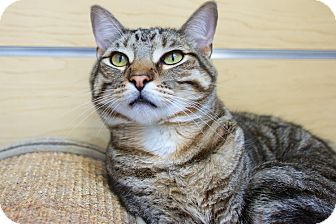 Domestic Shorthair Cat for adoption in Houston, Texas - Bentley