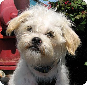 Maltese/Chinese Crested Mix Dog for adoption in Indianapolis, Indiana - Sebastien