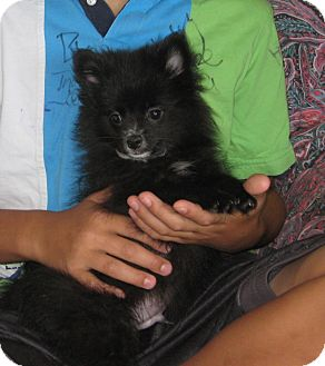 Pomeranian Puppy for adoption in Westport, Connecticut - Elbert