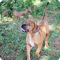 Adopt A Pet :: Hugo - Reisterstown, MD