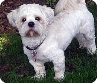 Lhasa Apso/Coton de Tulear Mix Dog for adoption in Toronto, Ontario - Ben