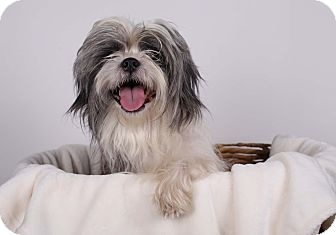 Shih Tzu Mix Dog for adoption in Gainesville, Florida - Quinsy