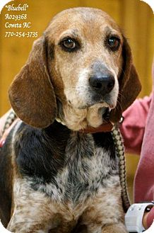 Beagle/Bluetick Coonhound Mix Dog for adoption in Newnan City, Georgia - Bluebell