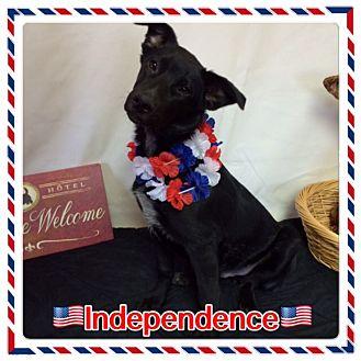 German Shepherd Dog Puppy for adoption in Pahrump, Nevada - Independence
