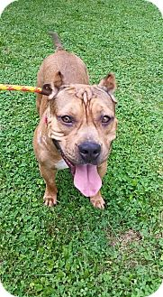 Staffordshire Bull Terrier/American Staffordshire Terrier Mix Dog for adoption in Oswego, Illinois - Gracie