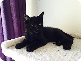 Domestic Shorthair Kitten for adoption in Loveland, Colorado - Bing Crosby