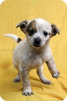 Blue Heeler Mix Puppy for adoption in Westminster, Colorado - Harriet