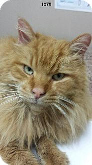 Domestic Longhair Cat for adoption in THORNHILL, Ontario - Bourbon
