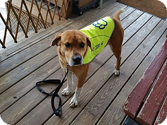 Golden Retriever Mix Dog for adoption in Wilkes Barre, Pennsylvania - George