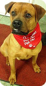 Boxer Mix Dog for adoption in Ada, Oklahoma - BUZZ